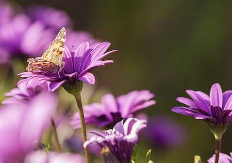 Purple Sunflower