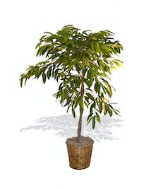 Amstel King Ficus Tree Plant delivered baton rouge LA