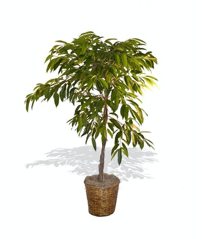 Amstel King Ficus Tree Plant delivered baton rouge LA
