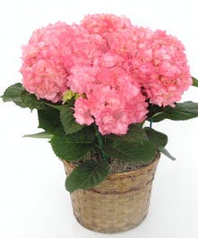 Hydrangea Blooming Plant delivered Baton Rouge LA