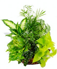 Mixed exotic green plant baskets delivered baton rouge LA
