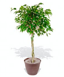 Benjamina Ficus Tree Plant delivered baton rouge LA