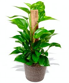 pothos green plant baton rouge la