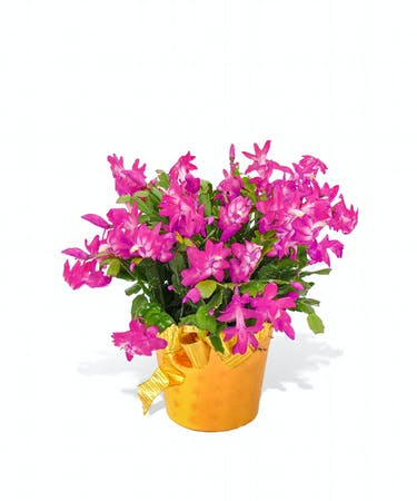 6 inch Christmas Cactus Plant delivered in Baton Rouge, LA ...