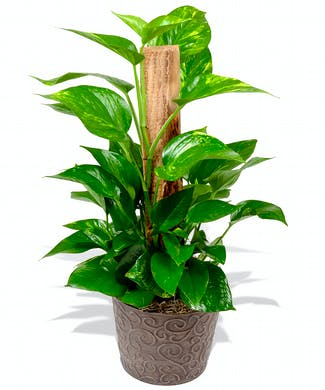 Pothos Ivy Plant On Pole